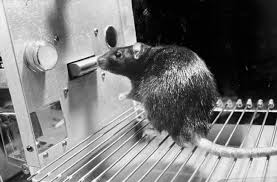 Black and white photo of a rat in a Skinner Box - a type of psychology experiment